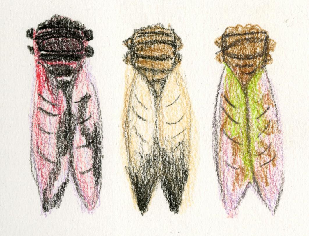 Coloured pencil sketch of three cicada brooches designed by Pat Thornton